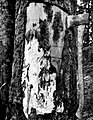 1955. Pseudohylesinus grandis egg galleries on wood of Pacific silver fir and mycelium of Armillaria mellea. Baker River District, Mt. Baker National Forest. Washington. (34741043491).jpg