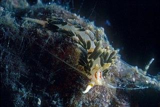 <i>Phidiana anulifera</i> Species of gastropod