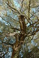 2008-03-02 (2) Olive Tree, Olivenbaum, Olea europaea.JPG