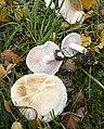 2008-10-17 Tricholoma stiparophyllum (S. Lundell) P. Karst 221484.jpg