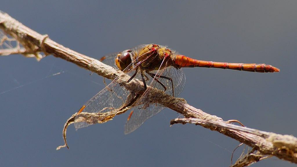 Vážka obyčajná (lat. Sympetrum vulgatum) - samček