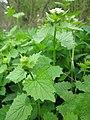 20130501Alliaria petiolata1.jpg