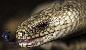 Anguis fragilis - Close-up of the head of a slowworm