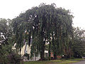 2014-08-23 18 40 31 Weeping Cherry on Pingree Avenue in Ewing, New Jersey.JPG
