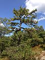 2014-08-26 14 29 02 Pitch Pine along the Appalachian Trail about 4.8 miles northeast of the Delaware Water Gap in Worthington State Forest, New Jersey.JPG