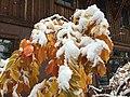 2015-11-02 10 32 39 Snow on a Cherry's autumn foliage along Brockway Road in Truckee, California.jpg