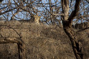 Kathiawar-Gir dry deciduous forests - A watchful Indian leopard in Gir Forest
