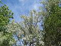 20150602Elaeagnus angustifolia1.jpg