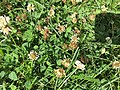 2016-06-30 09 25 39 A honey bee feeding on clover blossoms along Tranquility Court in the Franklin Farm section of Oak Hill, Fairfax County, Virginia.jpg