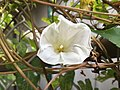 2016-08-14 16 47 59 Hedge Bindweed on a chain-link fence along Terrace Boulevard in Ewing, New Jersey.jpg