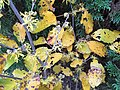 2016-11-28 11 07 12 American witch-hazel flowers and autumn foliage along Tranquility Court in the Franklin Farm section of Oak Hill, Fairfax County, Virginia.jpg