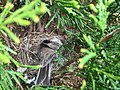 2017-04-12 10 28 36 Mother bird feeding her babies in a nest along Tranquility Court in the Franklin Farm section of Oak Hill, Fairfax County, Virginia.jpg