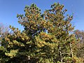 2018-11-17 14 26 35 Loblolly Pines undergoing old needle abscission in late autumn along a walking path in the Franklin Farm section of Oak Hill, Fairfax County, Virginia.jpg