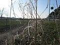 20180221Diplotaxis tenuifolia2.jpg
