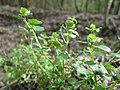 20180414Veronica hederifolia1.jpg