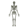 201805 human skeleton.png