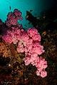 2018 fiji, 16 april, coral corner, pink soft coral (40058218530).jpg