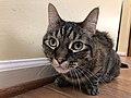 2020-04-24 16 51 06 A tabby cat crouching on a wood floor in the Franklin Farm section of Oak Hill, Fairfax County, Virginia.jpg