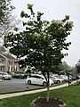 2020-05-27 06 58 24 Japanese tree lilac blooming along Tayloe Court in the Franklin Farm section of Oak Hill, Fairfax County, Virginia.jpg