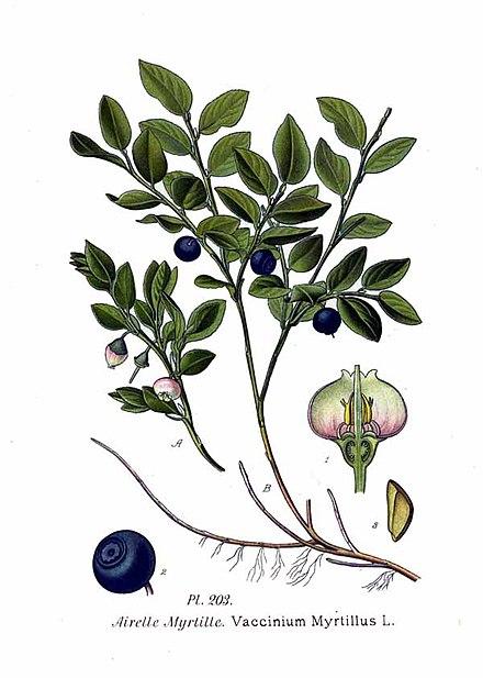 월귤나무(bilberry, Vaccinium myrtillus L.) 열매 추출물이 마우스 실험에서 간경화와 간 손상을 개선시켜