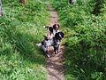 2 Hunting Spaniels.jpg