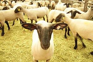 The Big Fresno Fair - Livestock animal at The Big Fresno Fair