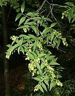 Le foglie Fontanesia fortunei