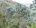 3 Silvertree forest on slopes of Table Mountain - CT.jpg