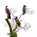 3 cormorants on a tree.jpg