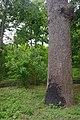 71-220-5070 Koshevy Oak SAM 5478.jpg