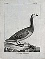 A Canada goose. Etching. Wellcome V0022786EL.jpg