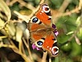 A Peacock Butterfly in a garden at Hedon - geograph.org.uk - 1227757.jpg