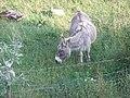 A Sligo Donkey - panoramio.jpg