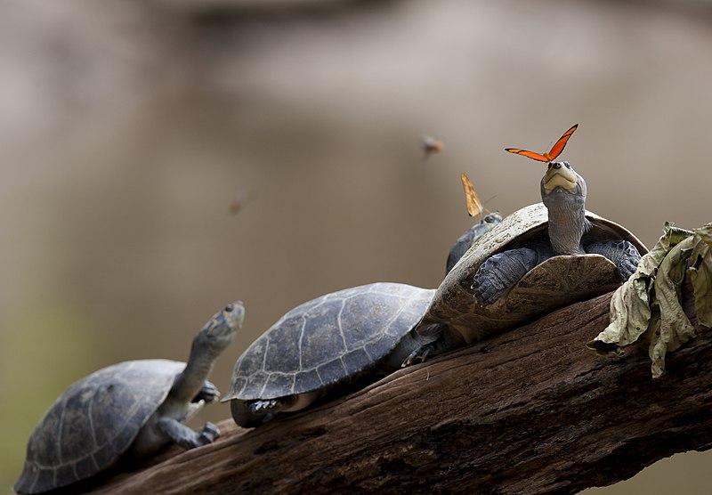 A butterfly feeding on the tears of a turtle in Ecuador (crop).jpg