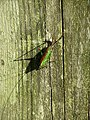 A cricket (Conocephalus dorsalis) and its shadow - geograph.org.uk - 947165.jpg