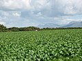 A field of beet - geograph.org.uk - 523473.jpg
