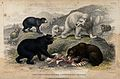 A group of different bears fighting for prey. Coloured etchi Wellcome V0021276.jpg