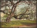 A live oak in Magnolia Cemetery, Charleston, S.C-LCCN2008678269.tif