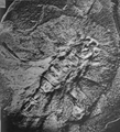 A monograph of the terrestrial Palaeozoic Arachnida of North America photos 6-10 10.png