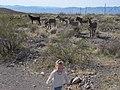 Abby, Wild Burros Near Oatman, Arizona (3) (4354853015).jpg