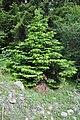 Abies nordmanniana Caucasian Fir ევროპული სოჭი (2).jpg