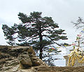 Abies spectabilis Namche Bazaar.jpg