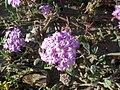 Abronia villosa-1.jpg
