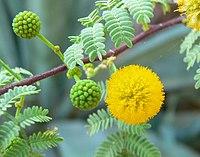 Acacia constricta flower