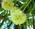 Acacia gerrardii, bloeiwyse, Walter Sisulu NBT.jpg