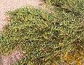 Acacia redolens 2.jpg