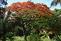 Acacia roja - Flamboyant (Delonix regia) (14342589227).jpg