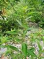 Acalypha virginica Arkansas.jpg