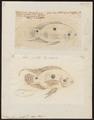 Acara bimaculata - 1700-1880 - Print - Iconographia Zoologica - Special Collections University of Amsterdam - UBA01 IZ14000083.tif