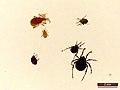Acari spp. (40153545622).jpg